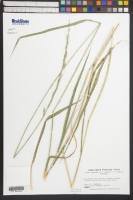 Image of Elymus nepalensis