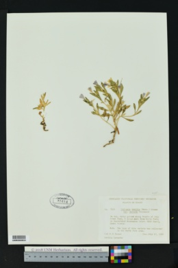 Image of Collomia debilis