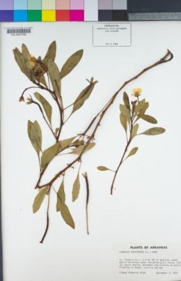Image of Ludwigia adscendens