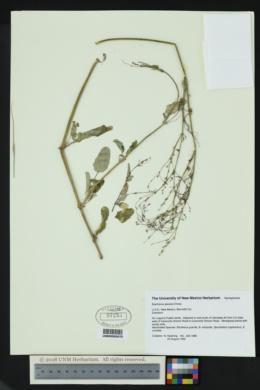 Image of Euphorbia strictior