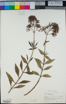 Centranthus ruber image