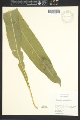 Image of Polypodium phyllitidis