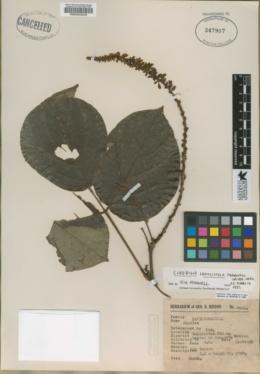 Image of Cleobulia crassistyla