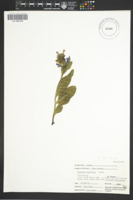 Image of Mertensia longiflora