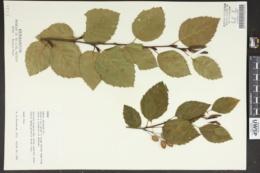 Alnus alnus image