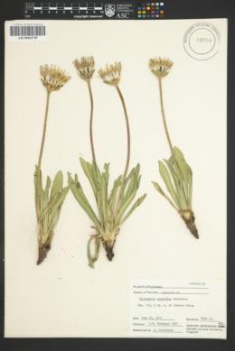 Image of Microseris nigrescens