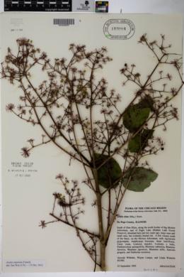 Image of Aralia stipulata
