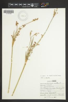 Juncus acutus image