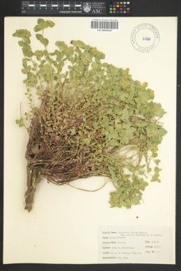 Euphorbia yaquiana image