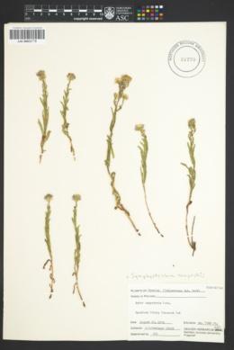 Image of Symphyotrichum campestre