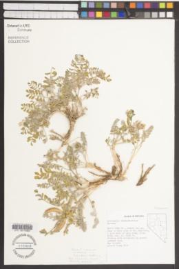 Image of Astragalus chamaemeniscus