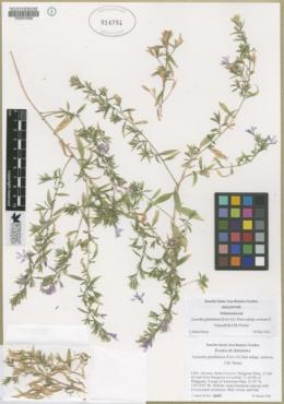 Loeselia glandulosa image
