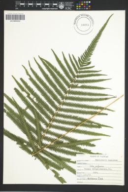 Image of Thelypteris augescens