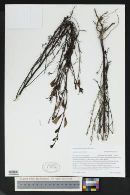 Image of Agalinis calycina