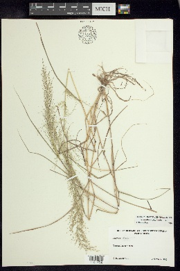 Image of Eragrostis viscosa