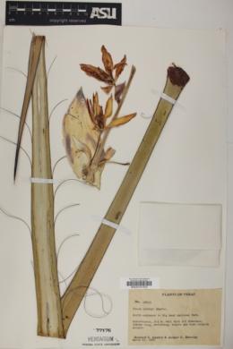 Yucca torreyi image