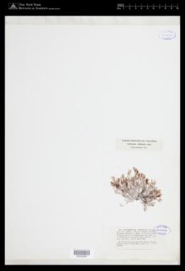 Image of Polysiphonia turgidula