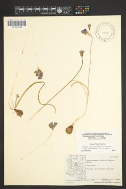 Dichelostemma capitatum subsp. pauciflorum image