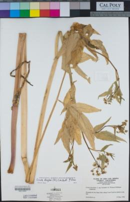 Cicuta maculata var. bolanderi image