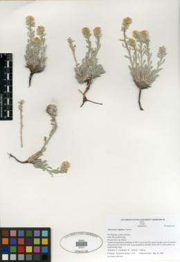 Image of Cryptantha rugulosa