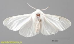 Hyphantria cunea image