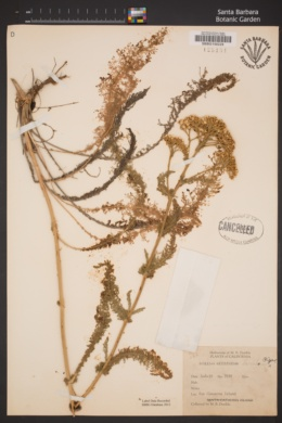 Achillea millefolium image