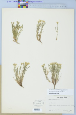Chaetopappa ericoides image