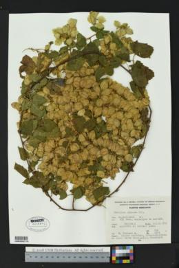 Image of Urvillea ulmacea