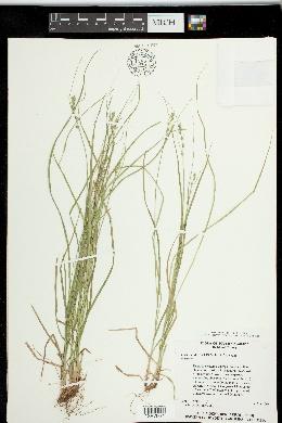Carex socialis image
