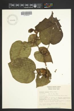 Image of Athenaea viscosa