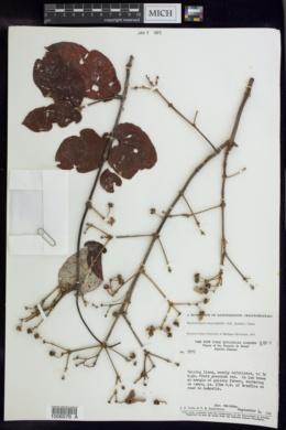 Image of Banisteriopsis argyrophylla