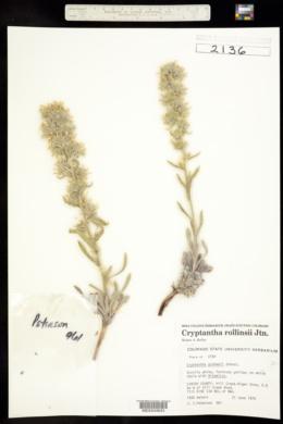 Cryptantha rollinsii image