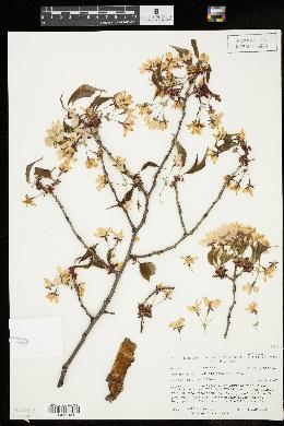 Image of Prunus sargentii