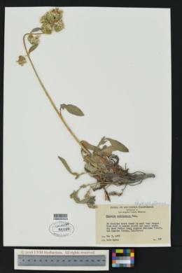 Phacelia californica image