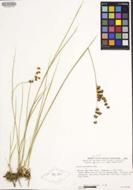 Juncus macrandrus image