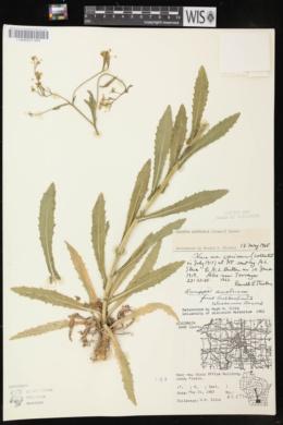 Rorippa austriaca image