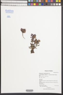 Image of Pedicularis chamissonis