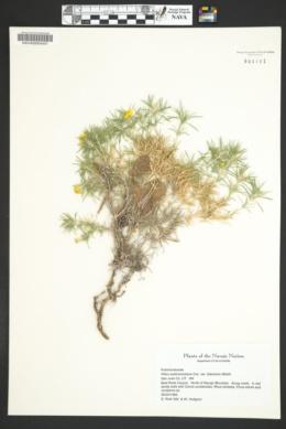 Phlox austromontana subsp. austromontana image