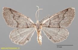 Enypia griseata image