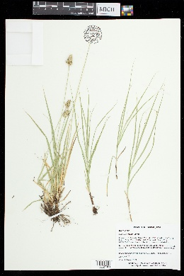 Carex austrina image