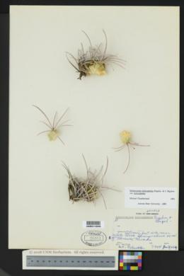Echinocactus polycephalus var. polycephalus image