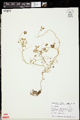 Image of Trifolium bilineatum