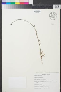 Image of Nuttallanthus texanus