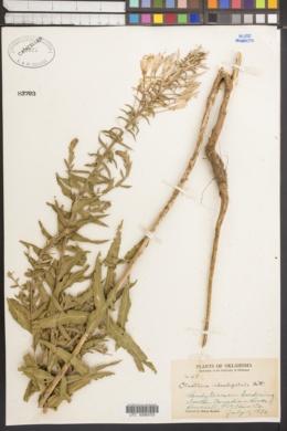 Oenothera rhombipetala image