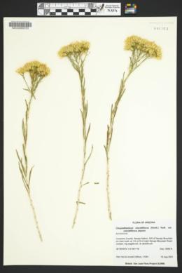 Chrysothamnus viscidiflorus image
