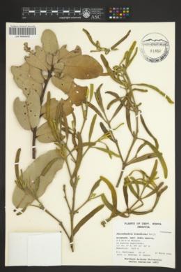 Image of Phoradendron breedlovei