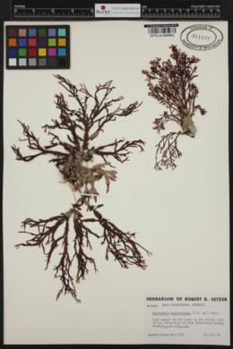 Nienburgia andersoniana image