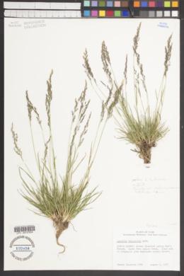 Agrostis variabilis image