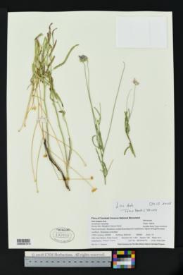 Sida longipes image