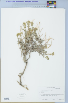 Parthenium incanum image